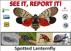 spotted lanternflyx300